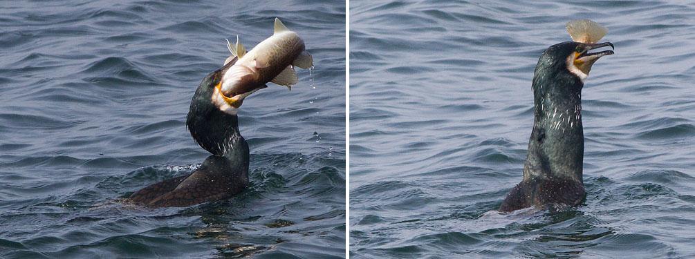 Mix mars 2105 fr Ornitolog Svalan Dskrv äter torsk